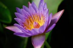 Лилии воды Стоковое Фото