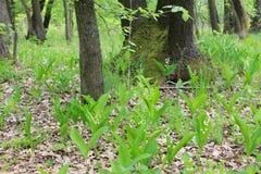 Лилии долины в лесе Стоковая Фотография RF