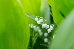 Лилии долины в парке скопируйте космос против детенышей весны цветка принципиальной схемы предпосылки белых желтых Стоковые Изображения