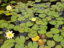 Лилии желтой воды в пруде стоковые фотографии rf