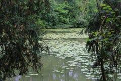 Лилии желтой воды в пруде Стоковое фото RF