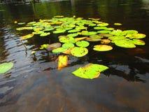 Лилии желтой воды и пусковые площадки лилии Стоковые Фотографии RF