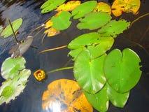 Лилии желтой воды и пусковые площадки лилии Стоковые Изображения RF