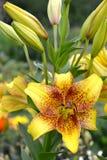 Лилии желтые, ранг золотой лилии камня азиатской Цветок и бутоны стоковые изображения