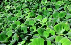 лилии карлика Стоковое фото RF