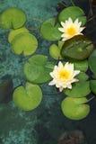 Лилии лотоса Стоковые Изображения
