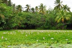 Лилии на тропическом озере в острове Гаваи большом стоковое изображение