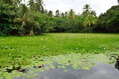 Лилии на тропическом озере в острове Гаваи большом стоковое изображение rf