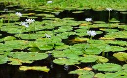 Лилии на тропическом озере в острове Гаваи большом стоковое фото