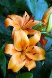 лилии померанцовые стоковая фотография rf