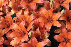 лилии померанцовые Стоковые Изображения RF