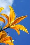 лилии сада Стоковые Фото