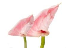 Лилии фламингоа Стоковые Изображения