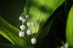 Лилии цветеня долины в лесе стоковые изображения rf