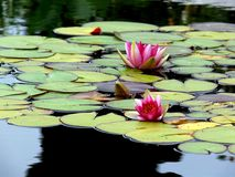 лилии 2 Стоковое Фото