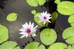 лилии 2 Стоковые Фото