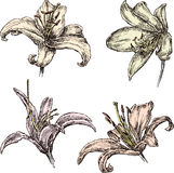 лилии Стоковые Фотографии RF
