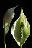 лилии arum Стоковые Фото