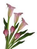 лилии calla предпосылки белые Стоковые Фотографии RF