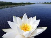 Лилия белой воды в реке, Литве Стоковое Изображение RF