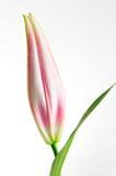 лилия бутона Стоковые Фото