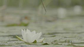 Лилия воды в болоте Лилия воды в болоте Лотос в природе на естественной предпосылке Белый лотос в конце болота вверх сток-видео
