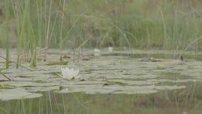 Лилия воды в болоте Лотос в природе на естественной предпосылке Белый лотос в конце болота вверх видеоматериал