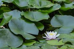 Лилия воды в ботаническом саде Valenc Стоковое Изображение RF