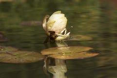 Лилия воды в озере Стоковые Фотографии RF