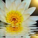 Лилия воды в пруде Стоковые Изображения RF