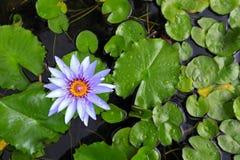 Лилия воды в пруде Стоковая Фотография