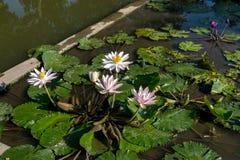 Лилия воды в цветени стоковая фотография