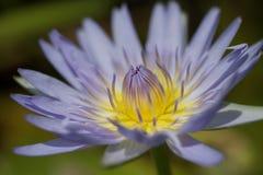 Лилия воды зацветая в Гаваи стоковая фотография rf