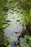 Лилия воды на пруде Стоковое Фото