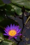 Лилия воды Стоковое Изображение