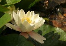 Лилия воды стоковое фото