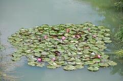 Лилия воды Стоковое Изображение RF
