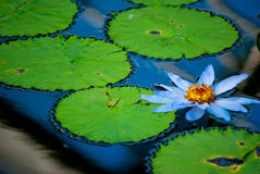 Лилия воды Стоковые Изображения RF