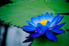 Лилия воды Стоковое фото RF