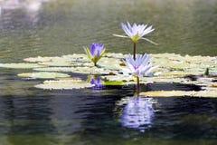Лилия воды стоковые фотографии rf