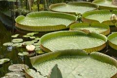 Лилия воды amazonica Виктория - самый большой waterlily плавать в воду стоковые фотографии rf