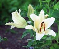 Лилия в саде Стоковая Фотография