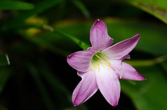 Лилия дождя Стоковая Фотография