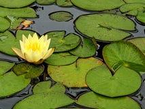 Лилия желтой воды с листьями стоковые изображения