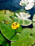 Лилия желтой воды Стоковые Изображения
