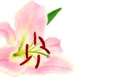 Лилия изолированная на белой предпосылке Стоковое Фото