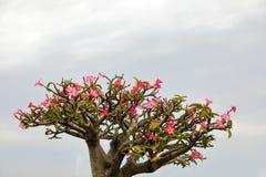 Лилия импалы или цветок азалии имеют красивые розовые цветки Стоковое Изображение RF