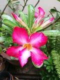 Лилия импалы и бутоны цветка стоковая фотография
