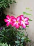 Лилия импалы стоковое изображение