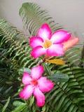 Лилия импалы стоковое изображение rf
